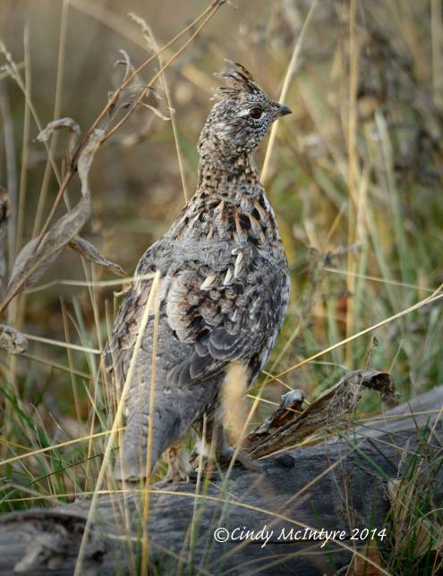 Ruffed Grouse, Grand Teton NP
