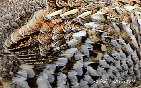 Ruffed-Grouse,-Yellowstone-NP-(12)-copy