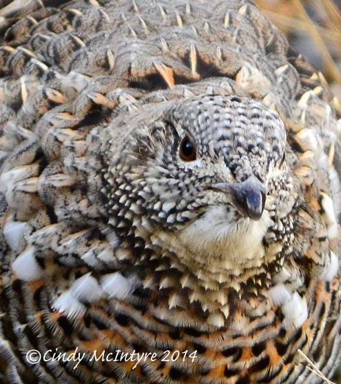Ruffed-Grouse,-Yellowstone-NP-(27)-copy-2