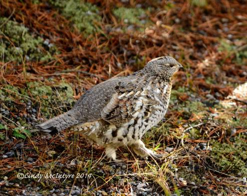 Ruffed-Grouse,-Yellowstone-NP-(28)-copy-2