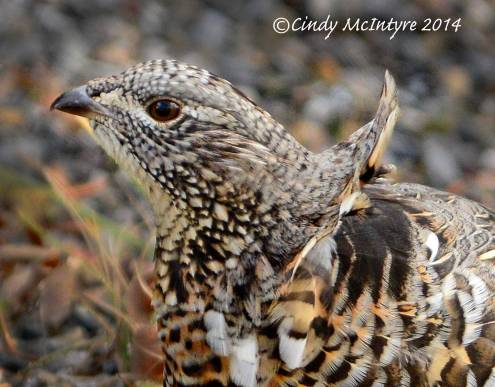 Ruffed Grouse showing the ruff blown by the wind