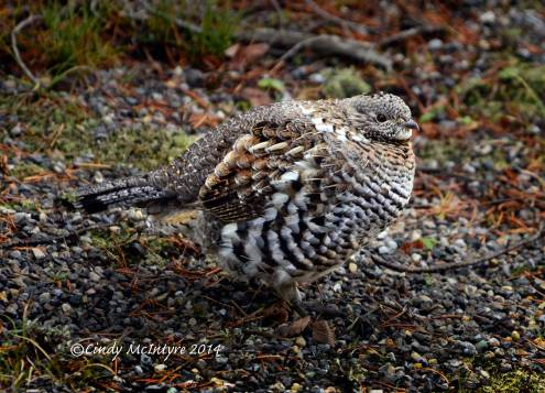 Ruffed-Grouse,-Yellowstone-NP-(4)-copy-2