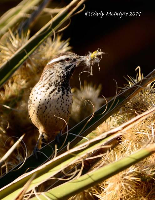 Cactus Wren with Nesting Material