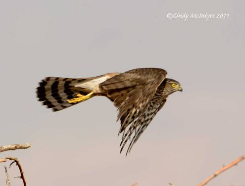 Cooper's Hawk Juvenile, Newberry Springs, California