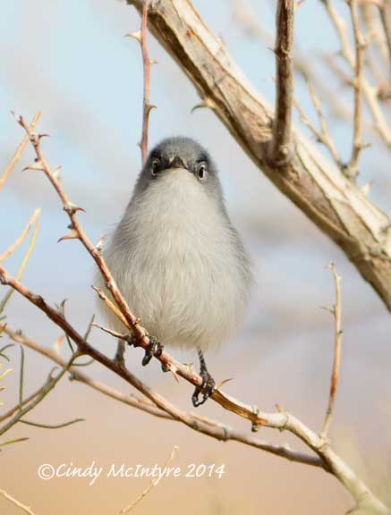 Black-tailed Gnatcatcher looking comical