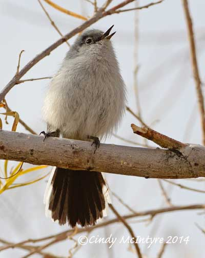 Black-tailed Gnatcatcher singing