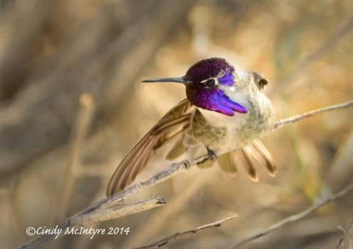 Costa's-Hummingbird-male-on-bladderpod-(10)-copy-2