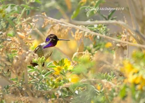 Costa's-Hummingbird-male-on-bladderpod-(16)-copy-2