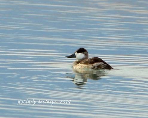 Ruddy Duck (I'm cheating - this one was just over the border in Nevada)