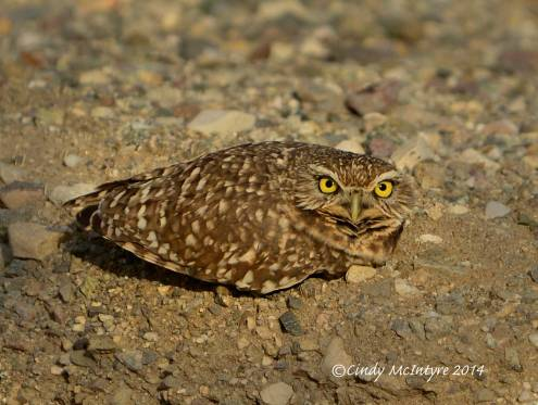 Burrowing Owl trying to look like a rock