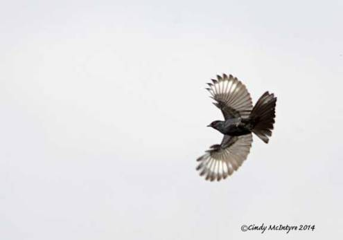 Male phainopepla in flight
