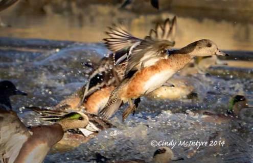 American wigeon female