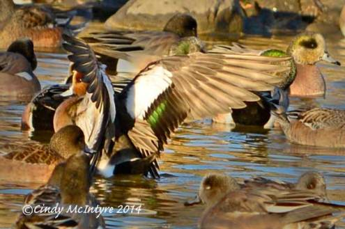 Eurasian wigeon stretching