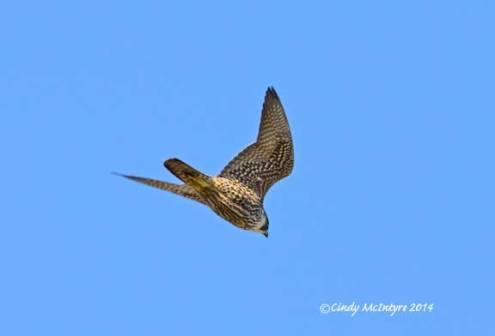 Peregrine Falcon, immature