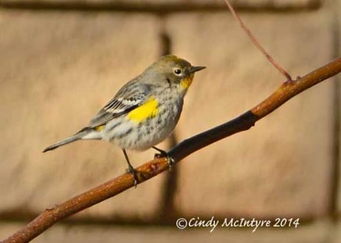 Yellow-rumped Warbler, Audubon's variety