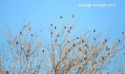 Robin Tree