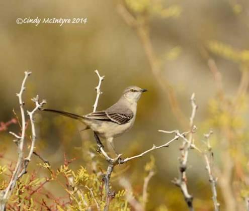 Mockingbird on mesquite