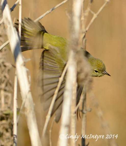 Orange-crowned warbler exiting the scene