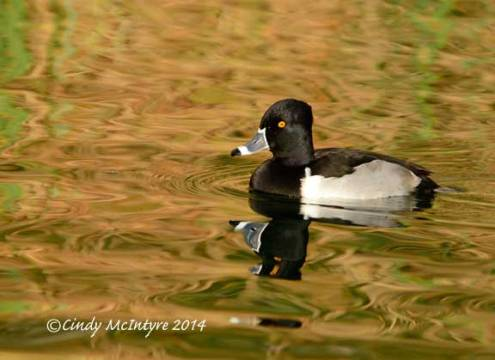 Ring-necked Duck, Whitewater Preserve