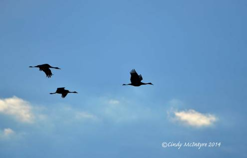 Sandhill-Cranes,-Hayden,-Colorado-(11)-copy