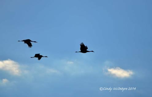 Sandhill-Cranes,-Hayden,-Colorado-(11)-copy