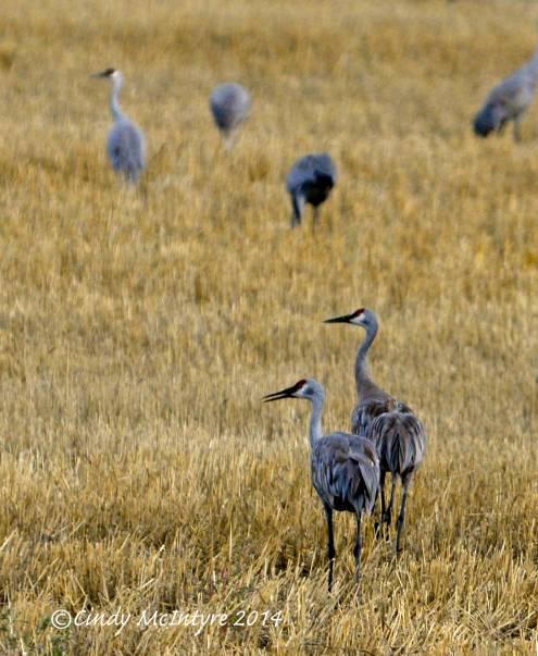 Sandhill Cranes, Hayden, Colorado