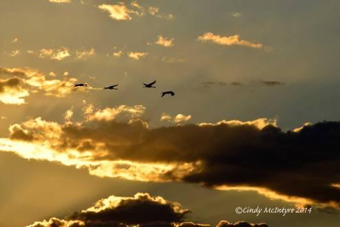 Sandhill-Cranes,-Hayden,-Colorado-(22)-copy