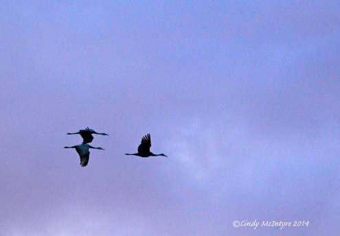Sandhill-Cranes,-Hayden,-Colorado-(24)-copy