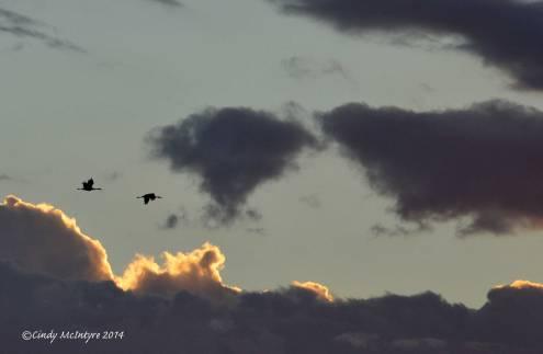 Sandhill-Cranes,-Hayden,-Colorado-(25)-copy