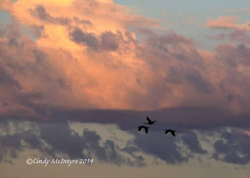 Sandhill-Cranes,-Hayden,-Colorado-(29)-copy
