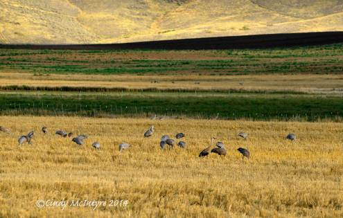 Sandhill-Cranes,-Hayden,-Colorado-(5)-copy