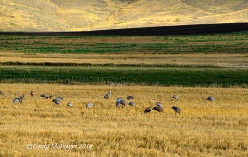 Sandhill-Cranes,-Hayden,-Colorado-(5)-copy