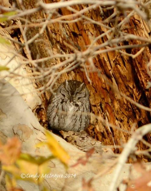 Western Screech Owl trying to look like tree bark.