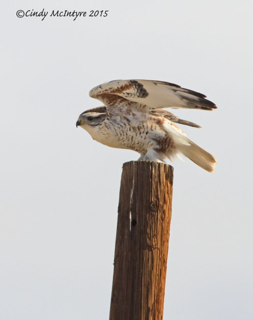 Ferruginous Hawk preparing for liftoff