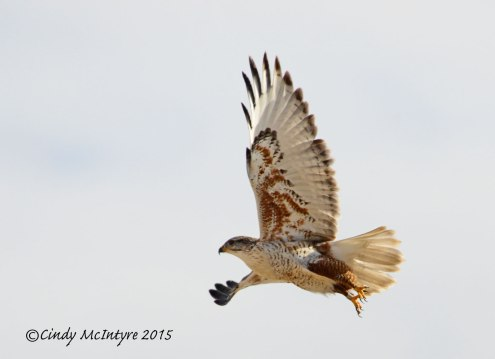 Ferruginous Hawk showing leg band