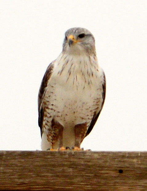 Ferruginous Hawk with rust pantaloons
