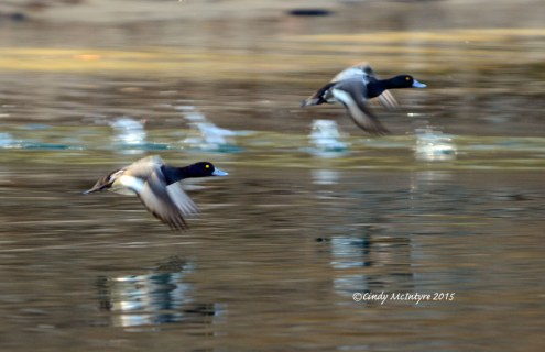 Lesser Scaup in flight