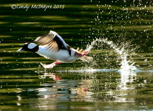 "Male Bufflehead ""running"" on water during takeoff"