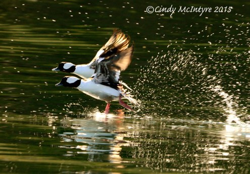 Male Buffleheads taking flight, Silverwood Lake