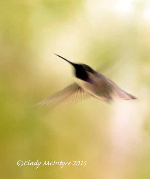 Male Costa's Hummingbird blur