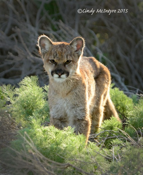 Juvenile Mountain Lion