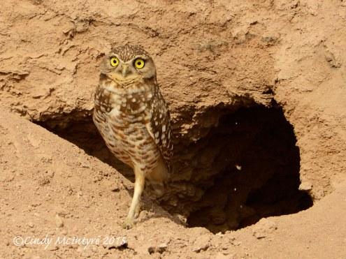 Burrowing-Owl-near-mudpots,-Salton-Sea-CA-(3)-copy-2