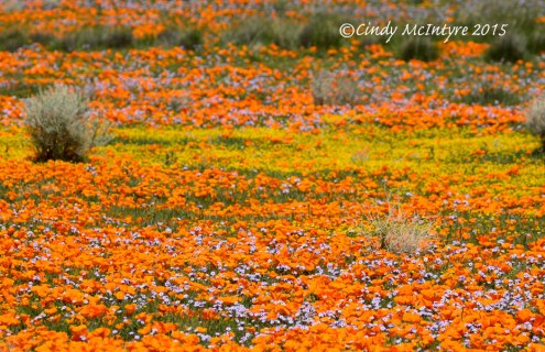 California poppies and goldfields, Lancaster, Calif.