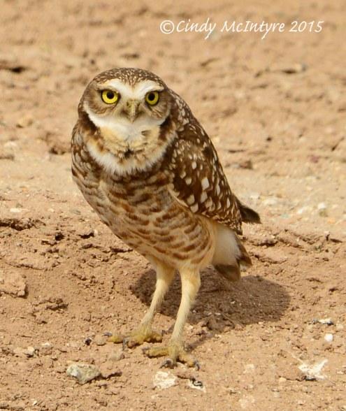 Burrowing Owl, Sonny Bono NWR