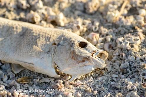 Dead fish, Salton Sea