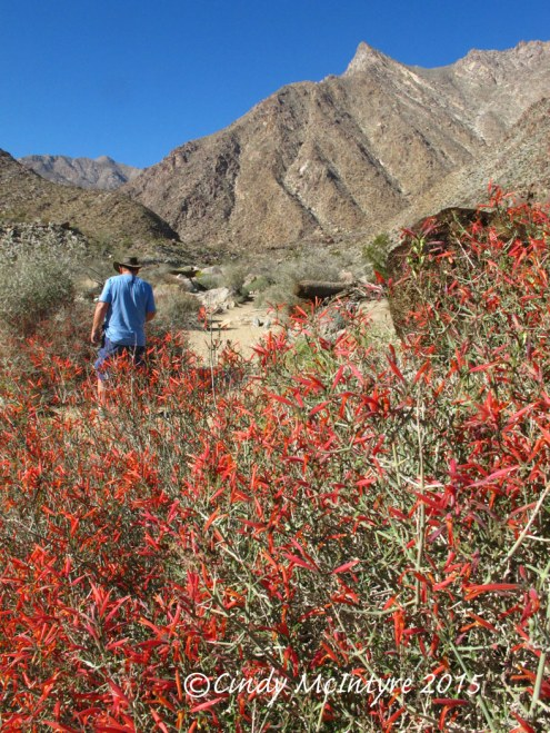 Chuparosa, Anza-Borrego Desert State Park