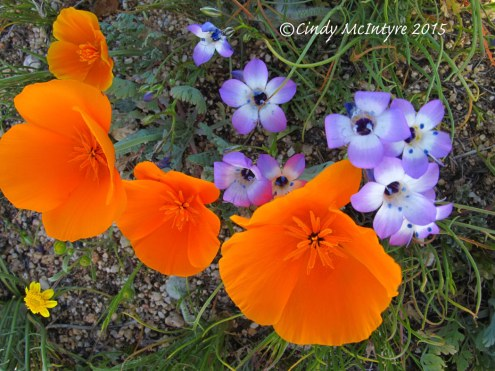 California poppies and Davey gilia