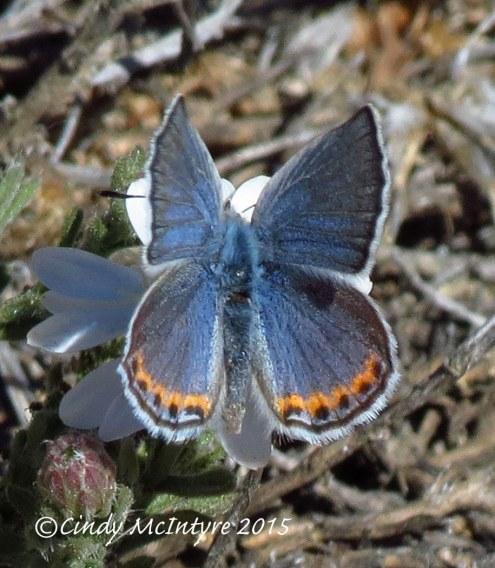 Acmon-or-lupine-blue,-plebejus-sp,-Mojave-Natl-Preserve-CA-(4)-copy