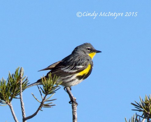 Male Audubon's warbler (yellow-rumped)