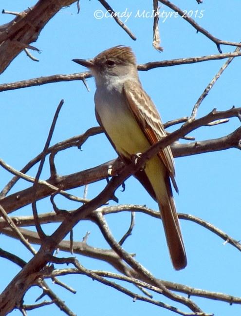Brown-crested-flycatcher-maybe,-Mojave-Natl-Preserve-CA-copy